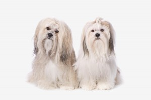 animal clinic lhase apso_11